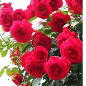 Sirop de plantes - Deux roses