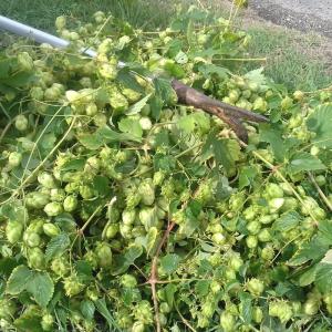 Sirop de plantes - Houblon